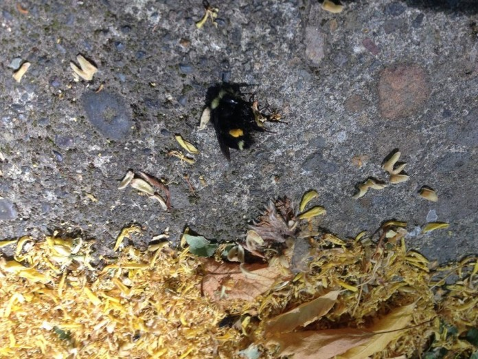 portland bee die-off, oregon portland bee die-off, oregon bee die-offfifth bee mass die-off in portland in a week, bee mass kill portland oregon june 2015