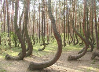 crooked forest, crooked forest poland, crooked forest photo, mysterious crooked forest poland, strange crooked forest poland, mystery of crooked forest poland, crooked forest poland photo, crooked forest poland video
