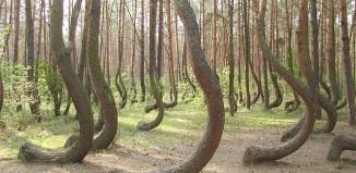 crooked forest, crooked forest poland, crooked forest photo, mysterious crooked forest poland, strange crooked forest poland, mystery of crooked forest poland, crooked forest poland photo, crooked forest poland video