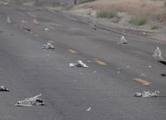 dead songbirds kuna, dead songbirds kuna sd, dead songbirds kuna south dakota, songbirds are diying mysteriously in kuna, songbird mass die-off kun south dakota, kuna mass die-off, sonbirds mass die-off kuna