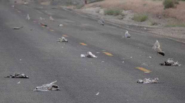 dead songbirds kuna, dead songbirds kuna sd, dead songbirds kuna south dakota, songbirds are diying mysteriously in kuna, songbird mass die-off kun south dakota, kuna mass die-off, sonbirds mass die-off kuna