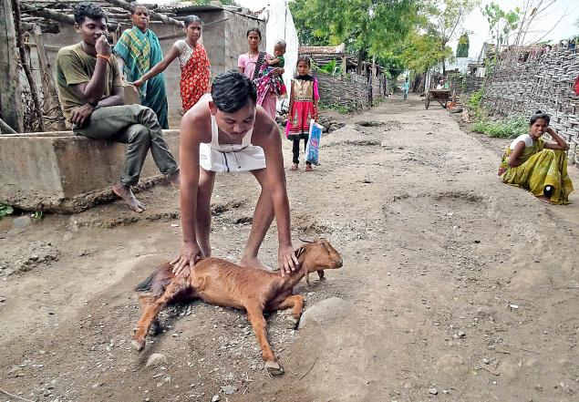 mystery disease goat die-off, 100 goats die from mysterious disease, unexplained illness kills goat in India, mysterious disease goats india, A dead goat found by a farmer in Ragapur village, India