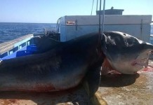 tiger shark, tiger shark australia 2015, tiger shark 2015, giant tiger shark caught in Australia, monster giant shark australia august 2015,
