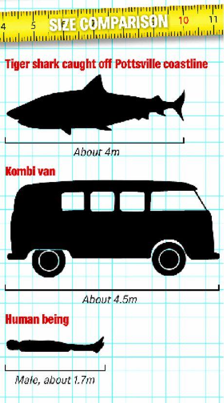 tiger shark, tiger shark australia 2015, tiger shark 2015, giant tiger shark caught in Australia, monster giant shark australia august 2015,
