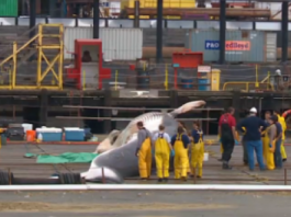 whale stranding alaska 2015, whale mass die-off alaska 2015, mysterious whale die-off 2015, whale death alaska 2015, mysterious whale die-off alaska, unprecedent whale die-off alaska 2015, NOAA preocupated by unprecedent die-off of large whales along the coast of Alaska. Chart by NOAA