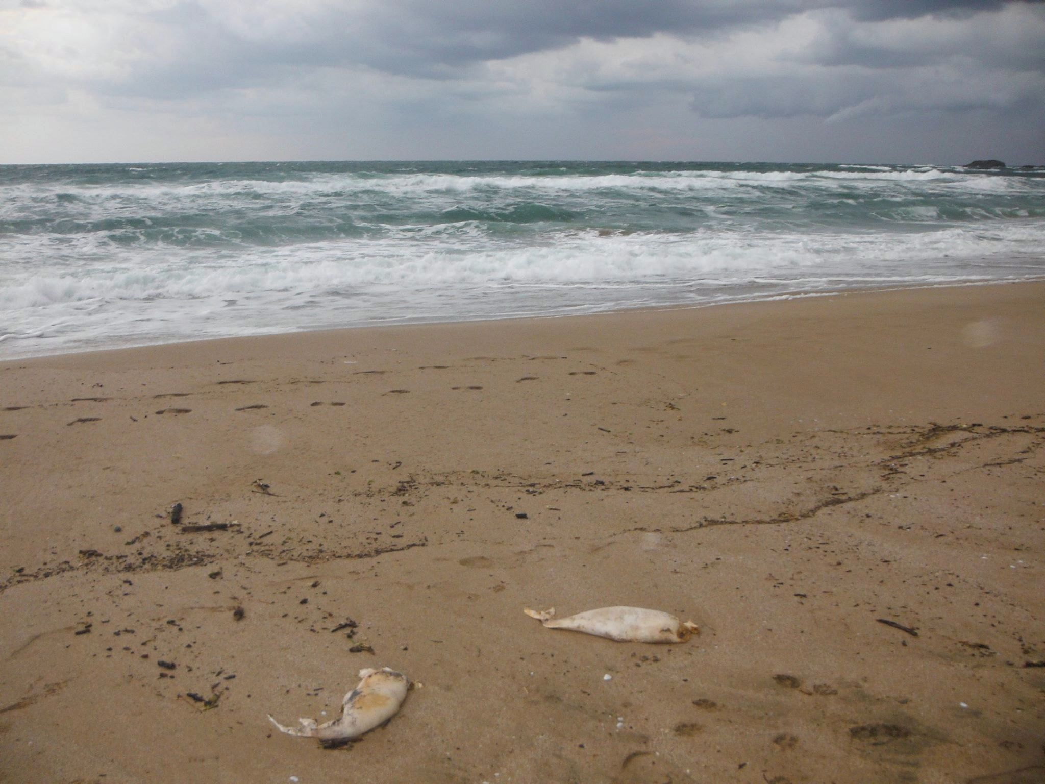 Baby dolphins die-off bulgaria, Baby dolphins mass kill black sea bulgaria, Baby dolphins calves die-off bulgaria 2015, Baby dolphins are stranding along the Black Sea coast of Bulgaria... And nobody knows why.