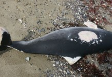 baby dolphins death bulgaria, Baby dolphins die-off bulgaria, Baby dolphins mass kill black sea bulgaria, Baby dolphins calves die-off bulgaria 2015, Baby dolphins are stranding along the Black Sea coast of Bulgaria... And nobody knows why.