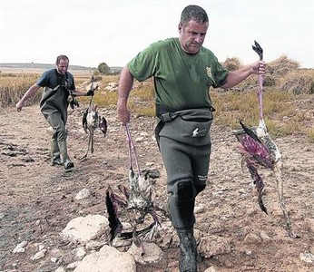 300 flamingoes killed by hailstomr in spain, flamingo hailstorm spain, hailstorm kills 300 falmingoes in lagoon of Pétrola, flamingo death hailstomr spain, 300 dead flamingoes hailstorm spain video, video 300 falmingoes dea, 300 flamingoes killed by hailstomrs in spain, 300 flamingoes killed by hail in Albacete, albacete hailstorm september 2015, Some of the 300 flamingoes found dead at lagoon of Pétrola, Albacete, Spain, Flamingoes were surprised by the extreme storm and killed by the stones, Extreme weather animal mass die-off