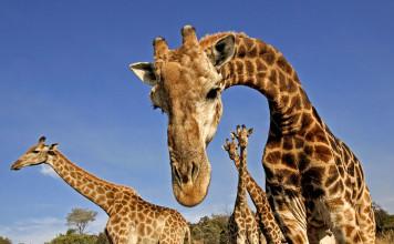 giraffes hum, giraffes humming, giraffes humming noise, mysterious hum giraffes, giraffe mysterious hum, humming sound giraffes, giraffes humming noise video