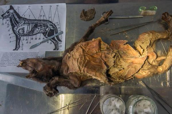 mummified puppy, mummified puppy dog, mummified puppy dog russia, mummified puppy unearthed in russia, The body of the puppy is still covered with fur., The permafrost was essential to conserve the mummified body of the dog