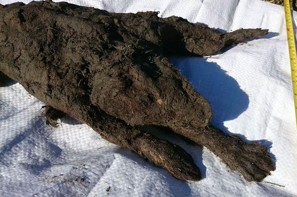mummified puppy, mummified puppy dog, mummified puppy dog russia, mummified puppy unearthed in russia, The body of the puppy is still covered with fur.