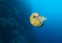 nautilus 2015, nautilus photo 2015, nautilus news 2015, nautilus discovery 2015, nautilus discovery after 30 years, allonautilus seen after 30 years, nautilus discovery september 2015, nautilus are not extinct, nautilus