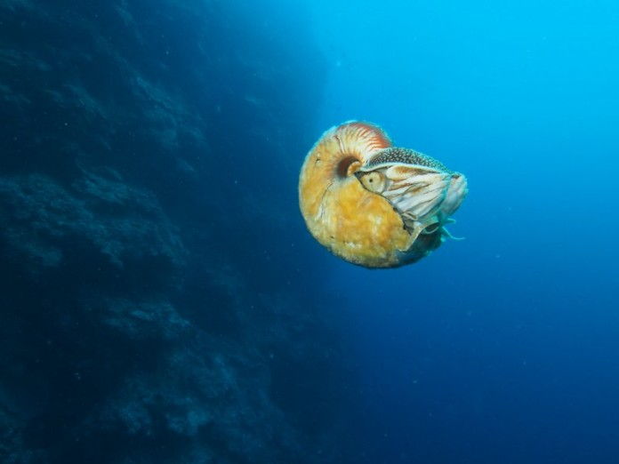 nautilus 2015, nautilus photo 2015, nautilus news 2015, nautilus discovery 2015, nautilus discovery after 30 years, allonautilus seen after 30 years, nautilus discovery september 2015, nautilus are not extinct, nautilus