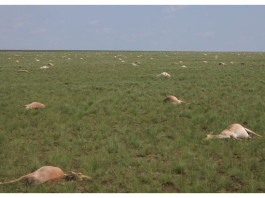 saiga antelopes die-off, saiga antelopes die-off Kazakhstan, saigas dead, dead saigas die-off, mysterious saigas mass die-off Kazakhstan, In May 2015, nearly half of all the saiga antelopes died-off mysteriously in Kazakhstan