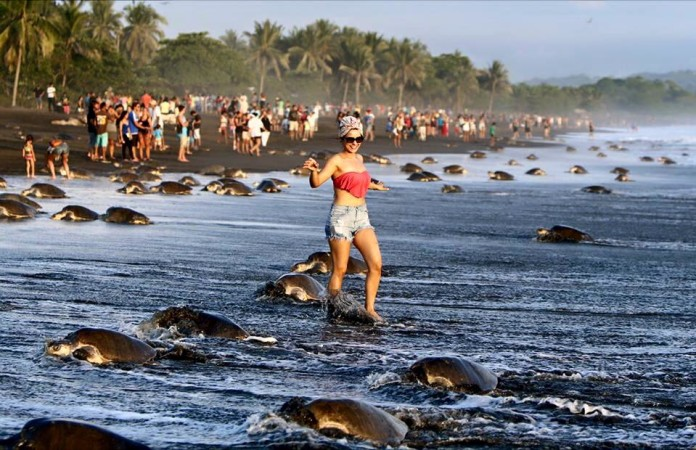 tourist disrupt turtle nesting costa rica, tourism costa rica turtle, turtle nesting disrupted by tourists in costa rica, costa rica turtle nesting disrupted, Tourists disrupt nesting of olive ridley sea turtles at Ostional Wildlife Refuge, turismo masivo tortugas ostional, turtle nesting costa rica