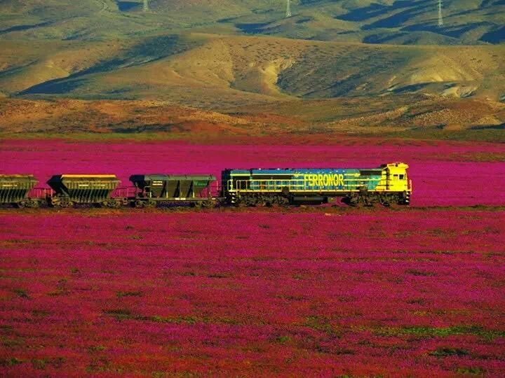 atacama flower, atacama desert flower, atacama flowering desert flower, atacama desert full of flowers, flower bloom in atacama desert, atacama desert flower bloom, atacama flower photo