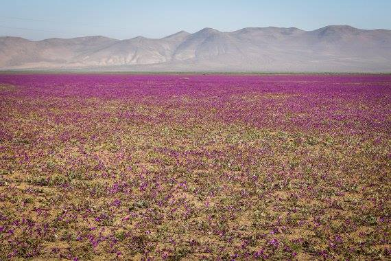 atacama flower, atacama desert flower, atacama flowering desert flower, atacama desert full of flowers, flower bloom in atacama desert, atacama desert flower bloom, atacama flower photo