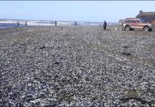 dead fish russia, dead fish sakhalin russia, fish die-off russia october 2015, fish mass die-off russia 2015, fish wash ashore in russia october 2015, massive mass die-off fish sakhalin october 2015