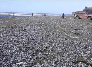 dead fish russia, dead fish sakhalin russia, fish die-off russia october 2015, fish mass die-off russia 2015, fish wash ashore in russia october 2015, massive mass die-off fish sakhalin october 2015