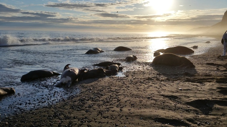 dead walrus alaska, hundreds of dead walrus alaska, walrus mass die-off in Alaska, walruses die in alaska, Hopefully, we will find the cause of this walrus mass die-off in Alaska