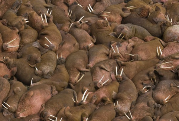 dead walrus alaska, hundreds of dead walrus alaska, walrus mass die-off in Alaska, walruses die in alaska