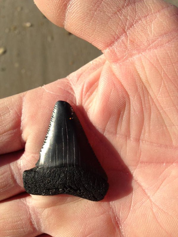 megalodon teeth north carolina beach, megalodon teeth nc, megalodon teeth wahs on nc beach, megalodon teeth found on north carolina beach, magalodon teeth north carolina, giant megalodon teeth have washed along beaches in NC due to latest coastal storms and high tides,