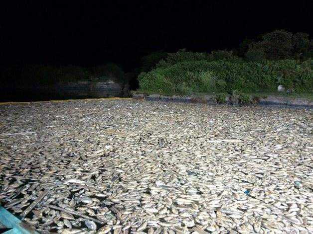 des millions de morts tamaulipas de poissons mexique octobre 2015, les poissons meurent au large du Mexique octobre 2015, poissons massie meurent Tamaulipas, toneladas de peces muertos en Playa Tesoro., millones de peces muertos en la Playa Tesoro y Dunas Doradas, die-off de masse octobre 2015, apocalyptique masse tamaulipas die-off mexique