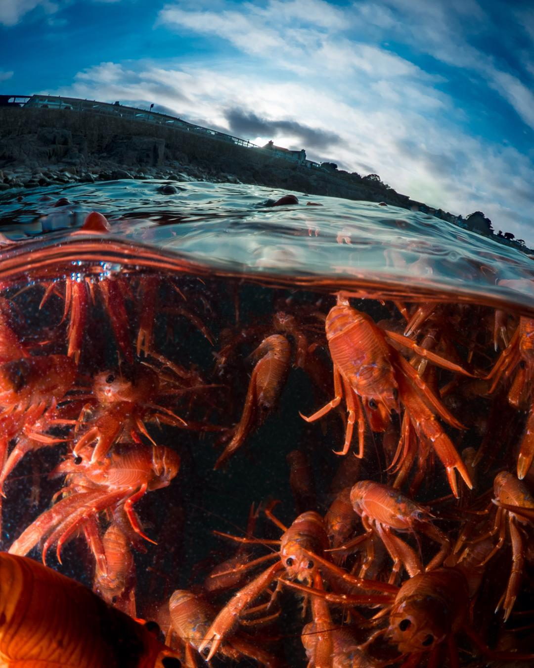 red crabs monterey, red crabs monterey die-off, red crabs monterey mass die-off, red crabs wash ashore along beaches in monterey, el nino red crabs monterey, red crabs monterey el nino strong, Dead red crabs on the shore of Pacific Grove