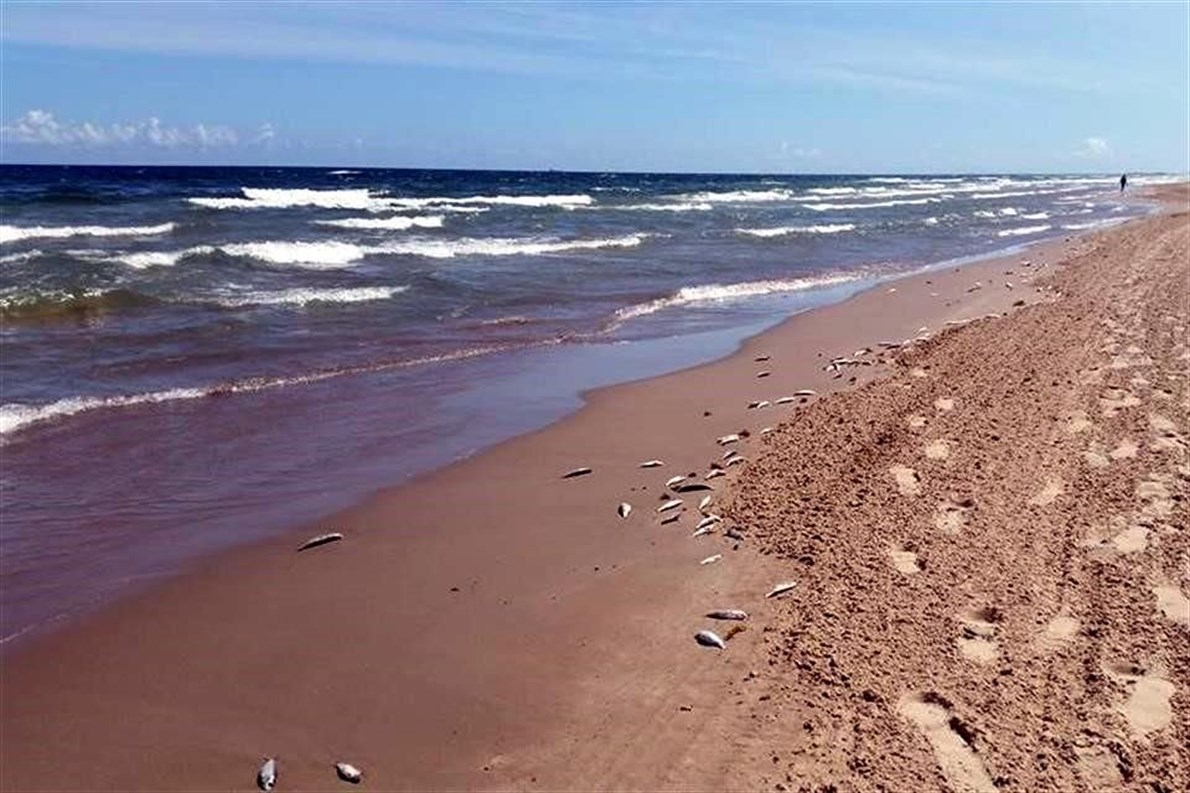 red tide fish kill mexico, red tide fish kill mexico photo, red tide fish kill mexico october 2015, 14 tons fish dead on mexico beach red tide, red tide kills thousand fish in tamaulipas mexico, mass die-off fish red tide, fish kill news october 2015, latest animal die-off 2015