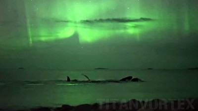 whales northern lights, whales northern lights video, Whales dancing under auroras in Norway