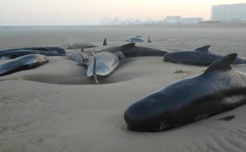 10 whales stranded calais, whales dead calais, whale stranding calais, exceptional whale stranding calais, whale stranding calais france, whale dead calais november 2015, whale stranding calais november 2 2015