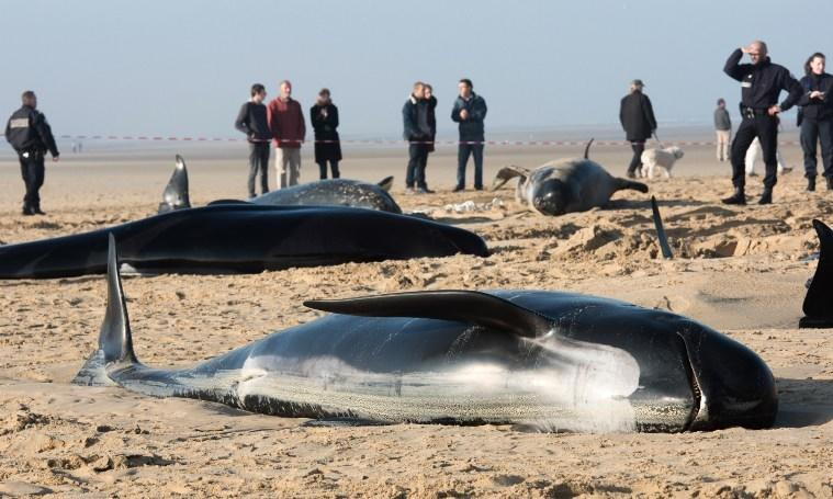 10 whales stranded calais, whales dead calais, whale stranding calais, exceptional whale stranding calais, whale stranding calais france, whale dead calais november 2015, whale stranding calais november 2 2015, Firefighters and animal rescuers gather around long-finned pilots stranded on a beach in the northern French city of Calais on November 2, 2015.