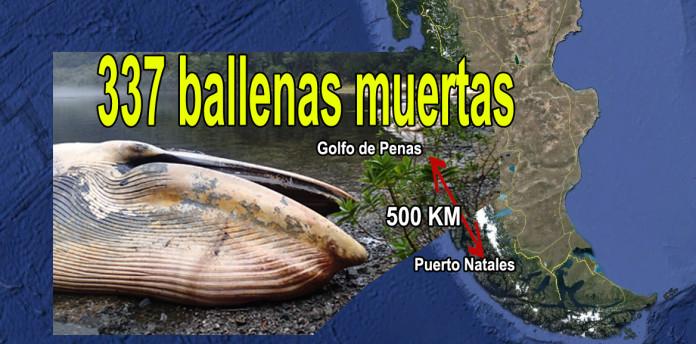 337 dead whales chile, 337 ballenas muertas en Chile, 337 dead whales patagonia chile, mysterious whale mass die-off chile, mystery as 337 whales die in chile, Fiscalía investiga varamiento de más de 300 ballenas entre el Golfo de Penas y Puerto Natales, Investigan varamiento de más de 300 ballenas entre el Golfo de Penas y Puerto Natales, Varamiento de 337 ballenas en Chile