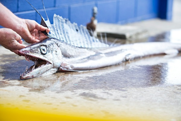 lancetfish, lancetfish new zealand, lancetfish new plymouth, deep sea fish beaches in New Plymouth, deep sea lancetfish beach on new zealand beach, monster of the deep, deep sea monster lancetfish, Lancetfish can grow up to 2m. The New Plymouth one was 1.5m long