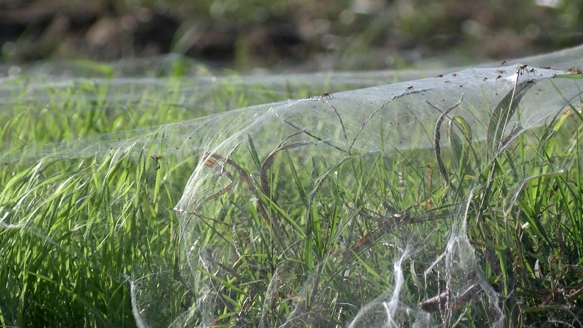 memphis spider, memphis spider november 2015, millions of spiders invade memphis, spiders infest memphis, memphis spiders problems, memphis spider plague