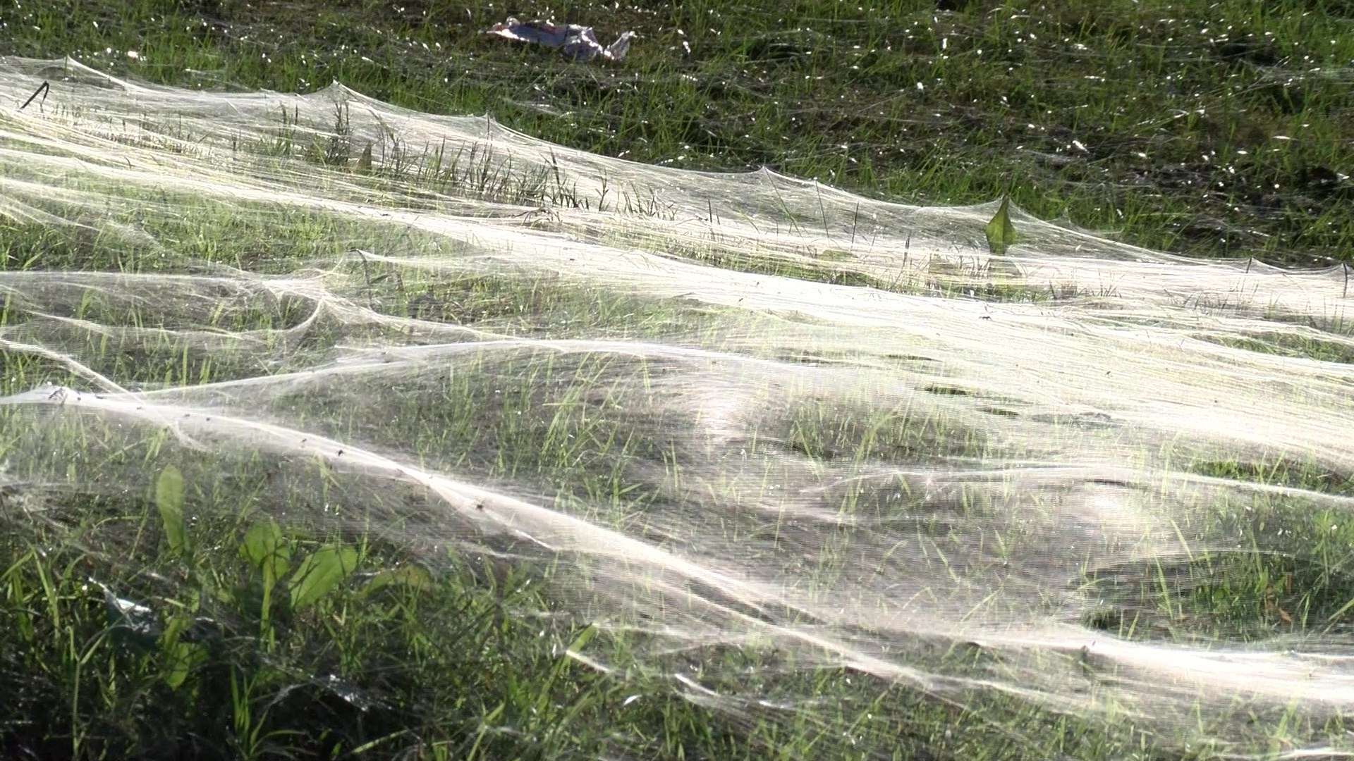 memphis spider, memphis spider november 2015, millions of spiders invade memphis, spiders infest memphis, memphis spiders problems, memphis spider plague
