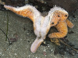 mystery disease kills starfish pacific, Sea Star Wasting Disease, why millions of sea star die along pacific coast, starfish die-off pacific, pacific coast sea star mass kill,