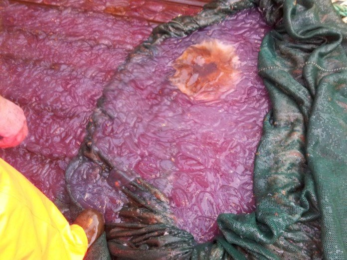 mystery purple slime fjord norway, mystery purple slime fjord norway photo, mystery purple slime norway, mystery purple slime fjord norway video, Mysterious purple jellyfish slime over fishing equipment on a boat, purple slime norway, weird jellyfish mucus norway, mysterious purple slime jellyfish norway