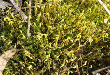 zombie plants, zombie frozen plants, 400-Year-Old Arctic Plants Frozen And Burried By Glaciers Come Back To Life, Centuries-old frozen plants revived, Regeneration of Little Ice Age bryophytes emerging from a polar glacier with implications of totipotency in extreme environments