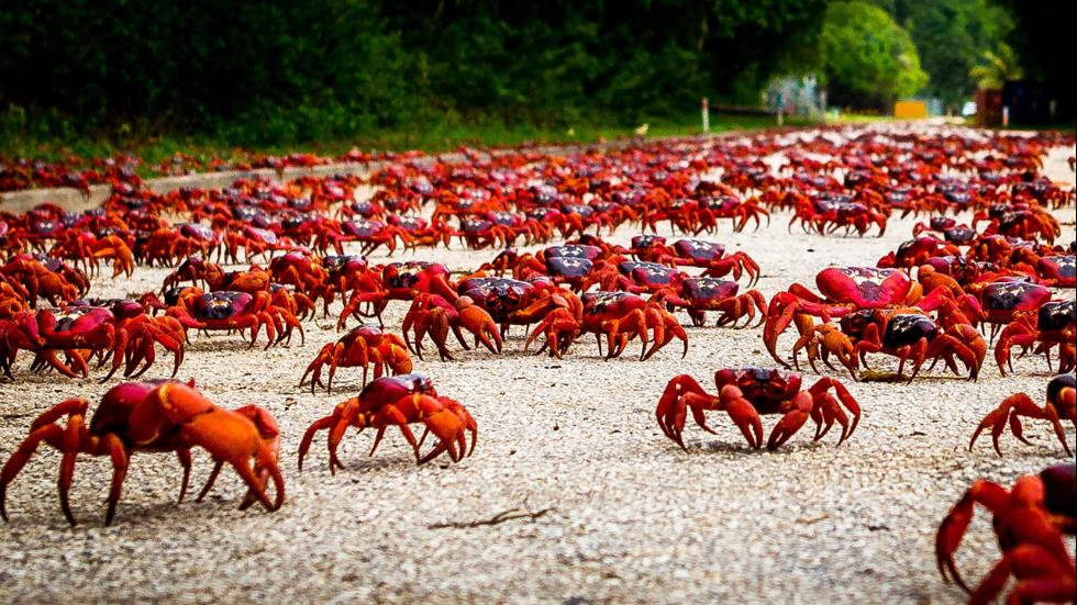 crab christmas