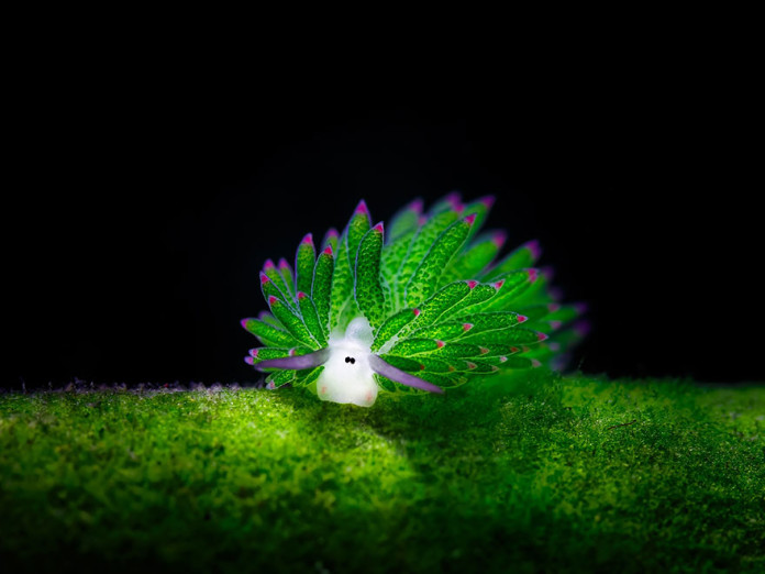 alien on earth, animals that looks like alien, alien sea slug, weird sea slug pictures, alien sea slug, Sea Slugs That Prove Aliens Already Live On Planet Earth, aliens exist on earth, aliens already exist on earth, animals looking like aliens, animal on earth looking like aliens, alien animal