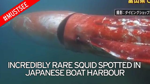 giant squid japan, giant squid japan pictures, giant squid japan video, giant squid japan christmas eve, giant squid japan christmas, giant squid japan videos, giant squid japan photo, giant squid japan harbor, giant squid japan