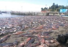cuttlefish mass die-off chile, mysterious cuttlefish mass die-off chile, apocalyptical cuttlefish mass die-off chile, thousands of cuttlefish die in Chile, thousands of cuttlefish die in Santa Maria de Coronel chile, chile cuttlefish mass die-off january 2016