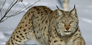lynch, 5 strange animal noise, strange animal sounds, weird animal sounds, 5 animals that sound strange, lynch picture, lynx vocalisation, lynx sound, lynx noise, 5 strange animal noise, strange animal sounds, weird animal sounds, 5 animals that sound strange, lynx snow