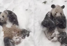 Panda Tian Tian snow, Panda Tian Tian snow video, Panda Tian Tian enjoys snow bath at the Smithsonian video, Panda Smithsonian snow video, Panda tian tian Smithsonian snow video, Tian Tian, the panda living at the Smithsonian National Zoo in Washington is having an awesome snow bath during the snow blizzard in DC, Panda Tian Tian has snow bath at the Smithsonian National Zoo during blizzard january 2016, Panda Tian Tian enjoying snow at the Smithsonian Institute in Washington DC