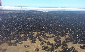 beetle invasion argentina beach, beetle invasion argentina, beetles invade beaches in Argentina, beetles invasion on Argentina beach, mysterious beetle invasion argentina beach, thousands of beetles invade argentina beach, biblical beetle invasion argentina