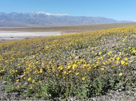 death valley flower bloom, death valley super bloom, flower death valley, death valley flower super bloom , super bloom death valley, death valley super bloom flower, flowers in death valley