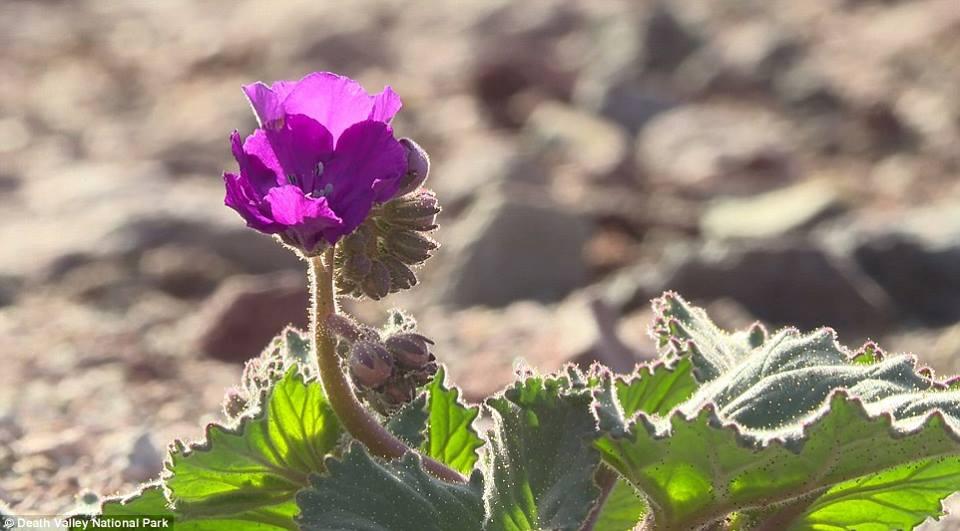 death valley flower bloom, death valley super bloom, flower death valley, death valley flower super bloom , super bloom death valley, death valley super bloom flower, flowers in death valley