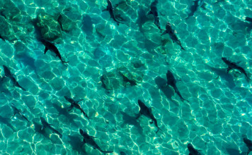 Palm Beach overrun by shark migration, shark florida palm beach migration, shark migration video, shark migration florida video, shark migration palm beach florida video, video shark migration palm beach florida