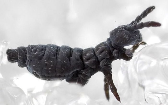 snow flea, snow flea invasion, snow flea plague, snow flea invasion february 2016, snow flea invasion pictures, snow flea invasion video, snow flea february 2016